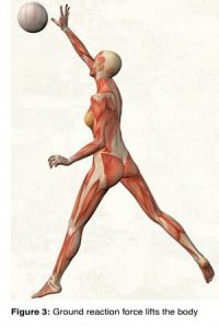 Synovial joints, on the other hand, perform best when there is minimal movement between the ilial and sacral articular cartilage surfaces. This minimal movement, termed joint play, not only provides spinal shock absorption, but also enhances lower extremity torque and transverse rotations, which help lift and propel the body through space (Fig. 3).