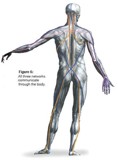 Tom Myers Anatomy Trains Myofascial Meridians Erik Dalton Blog