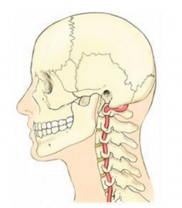 Fig. 4: The vertebral artery is vulnerable during head on neck extension and rotational movements as it is compressed against the posterior arch of the atlas. Poor occipitoatlantal and atlsntoaxial alignment from forward head postures and stomach sleeping coprimises blood flow to posterior and mid-cranial regions.