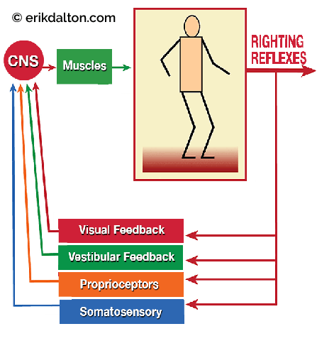 Image 2: CNS righting reflexes make instantaneous neuromuscular postural adjustments. ©erikdalton.com.