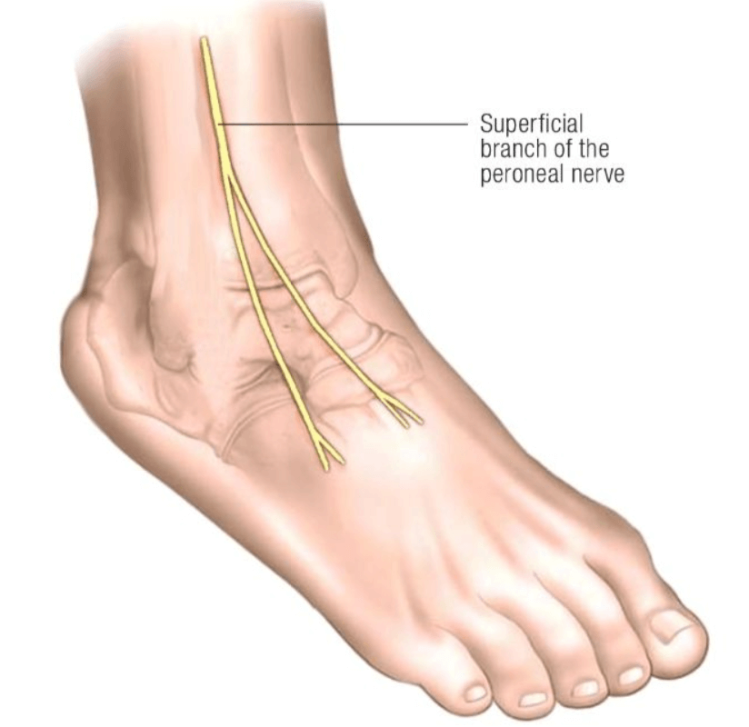 Image 3: Superficial peroneal nerve