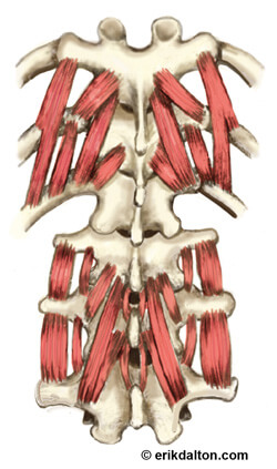 Image 1. Transversospinalis (groove) muscles