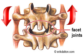 Image 2. Facet joints glide open during forward bending and back on extension