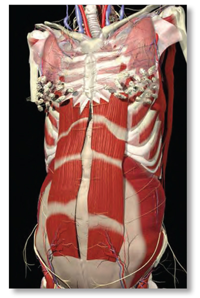 Figure 9: Linea alba laxity allows recti muscles to spread laterally. The resulting abdominal stretch weakness increases lumbar lordosis resulting in low-back pain. Adapted from Primal Pictures, 2003. Reprinted with permission.