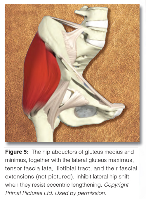 Figure 5. The hip abductors of gluteus medius and minimus, together with the lateral gluteus maximus, tensor fascia lata, iliotibial tract, and their fascial extensions (not picture), inhibit lateral hip shift when they resist eccentric lengthening.