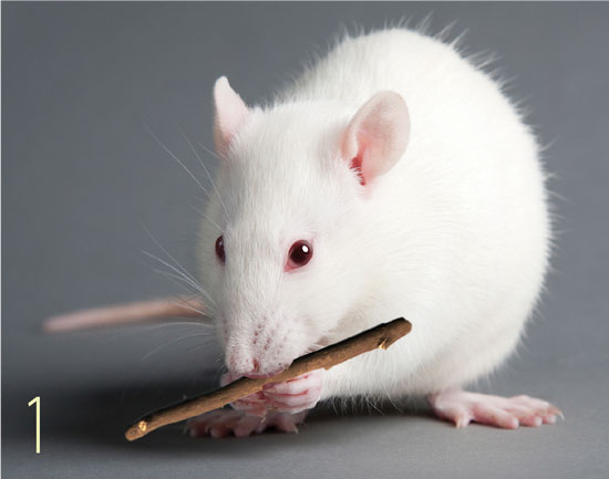 1. Rat chewing on a stick as a stress outlet