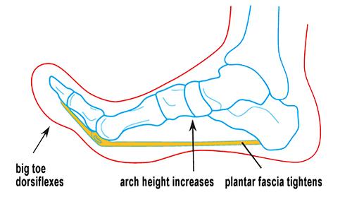 Image 2. Anatomy of the windlass mechanism